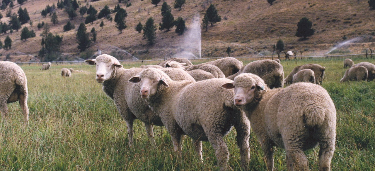Sheep USA ORG